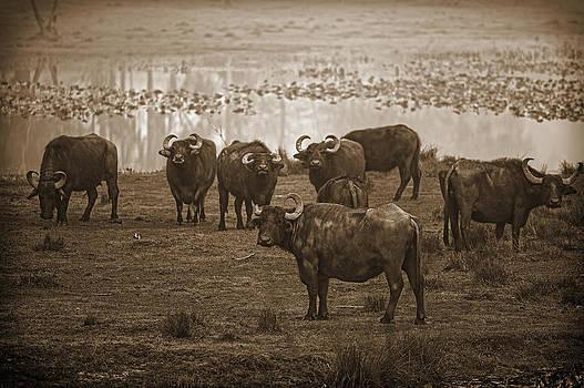 Can Not Roller Skate in a Buffalo Herd by Frank Feliciano