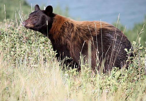 Canada Black Bear by Carolyn Ardolino