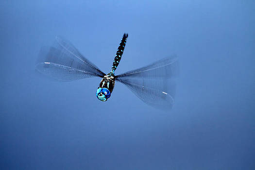 Peggy Collins - Canada Darner Dragonfly Flying