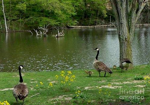 Gail Matthews - Canada Geese and their Babies