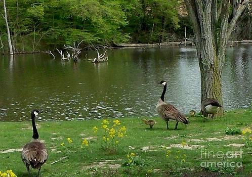 Gail Matthews - Canada Geese and their Babies