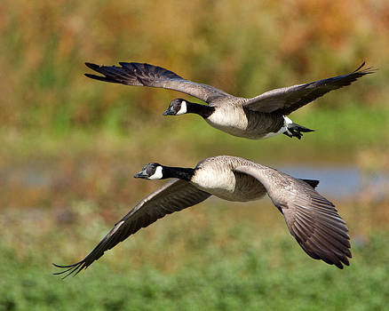 Canada Geese Flying by Steve Kaye