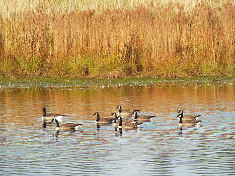 Canada Geese in Fall 2 by Gene Cyr