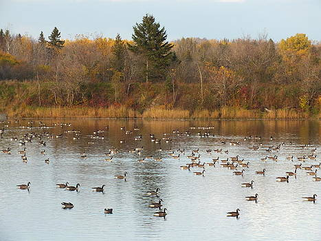 Canada Geese in Fall 3 by Gene Cyr