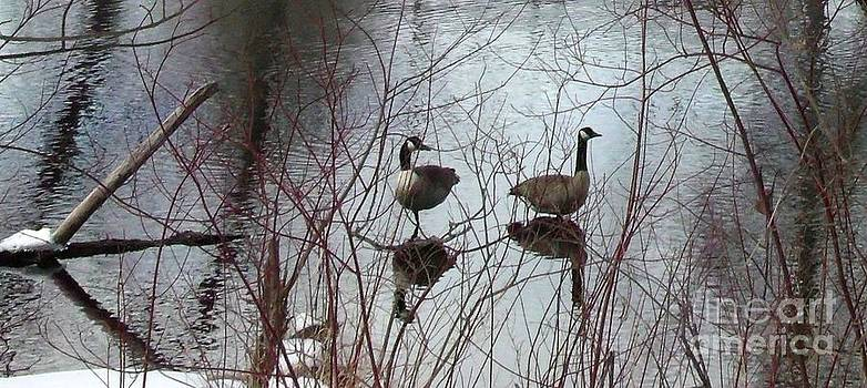 Gail Matthews - Canada Geese reflection in Spring