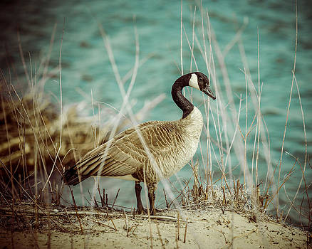 Canada Goose by Gerald Murray Photography