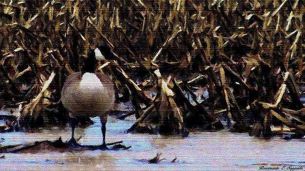 Rosemarie E Seppala - Canada Goose In Corn Field And Farm Pond