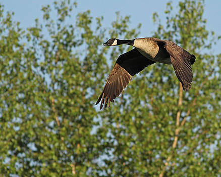 Canada Goose in Flight by Brian Magnier