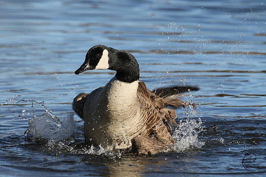 Canada Goose Splash by Veronica Ventress