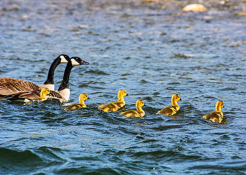 Omaste Witkowski - Canadian Geese and Goslings