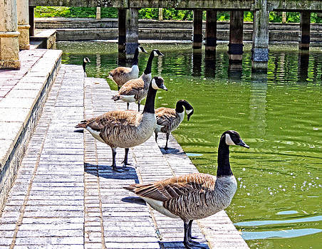 Canada Geese At Watermead UK by Marilyn Holkham