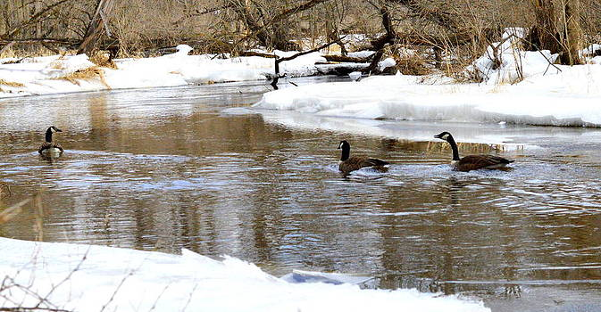 Canadian Geese in Winter by Megan Luschen