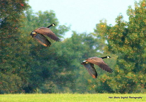 Canadian Geese by Michelle Cawthon