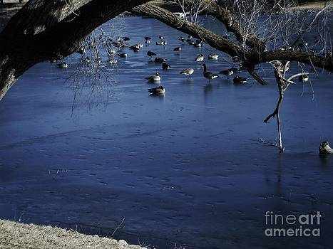 Canadian Geese sitting on Blue Ice by Robert D  Brozek