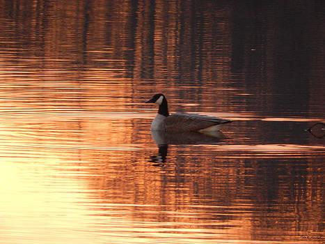 Canadian Goose on Lake Avalon at Sunrise by Nola Hintzel