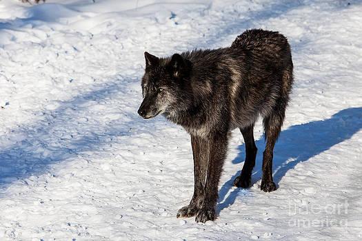 Canadian/Rocky Mountain gray wolf by Miro Vrlik
