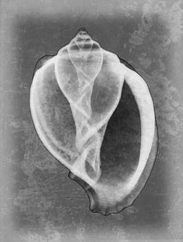 Roy Livingston - Canarium Sea Shell X-ray Art