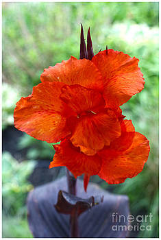 Canna by Ronald Williamson