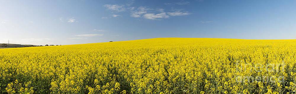 Tim Hester - Canola Field Panorama