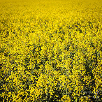Tim Hester - Canola Flowers
