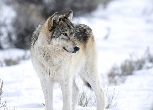Canyon Pack wolf by Deby Dixon