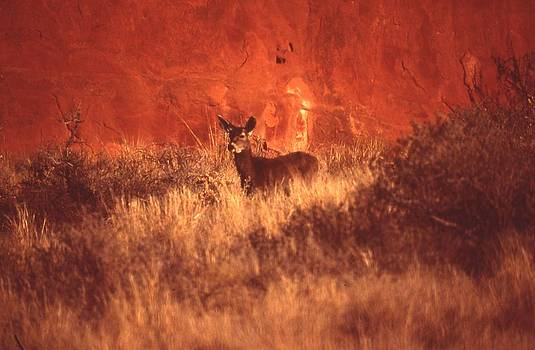 Canyonland Mule Deer by T C Brown