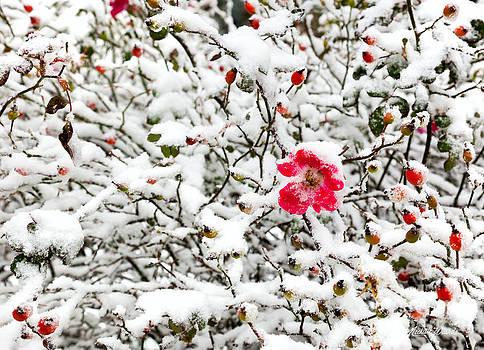 Michelle Wiarda-Constantine - Cape Cod Beach Rose in Fresh Snow