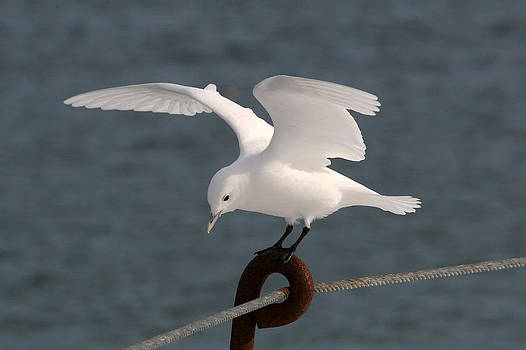 Cape Cod Ivory Gull 1 by John Rockwood