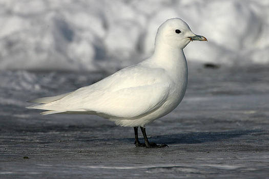 Cape Cod Ivory Gull 2 by John Rockwood