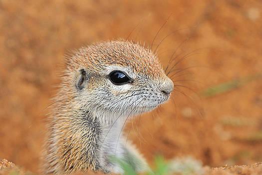 Cape Ground Squirrel by Grobler Du Preez