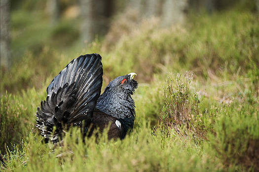 Capercaillie Display by Bob Falconer