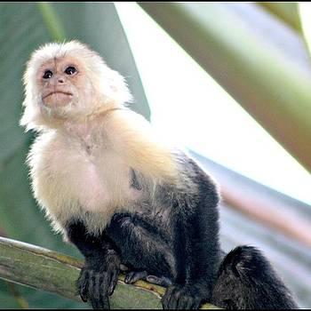 #capuchin #monkey #cahuita #costarica by Kayla  Pearson