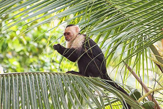 Peggy Collins - Capuchin Monkey on a Palm Tree