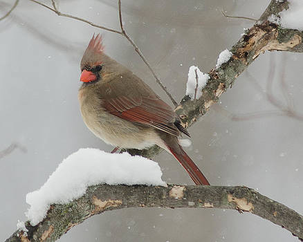 Cardinal #11 by Maria Suhr