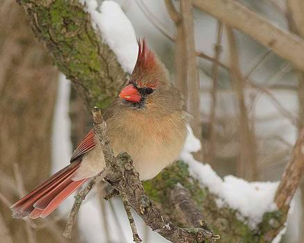 Cardinal #7 by Maria Suhr