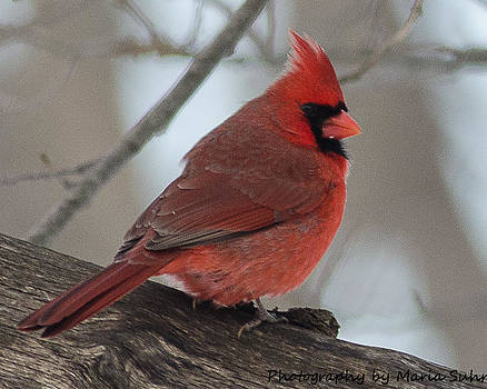 Cardinal #9 by Maria Suhr