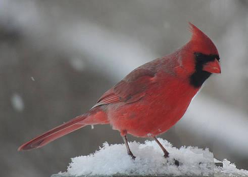 Amalia Jonas - Cardinal