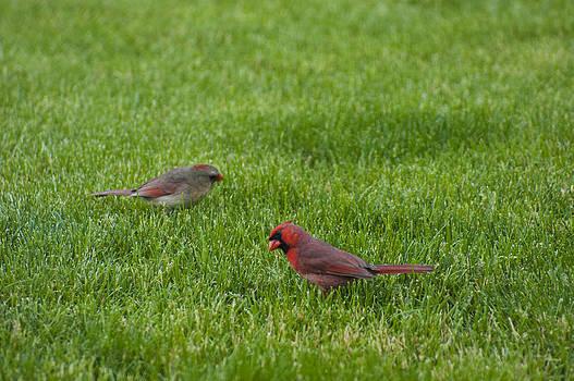 Cardinal Couple by Tony Hammer