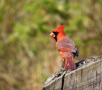 Cardinal Gaze by Amanda Struz