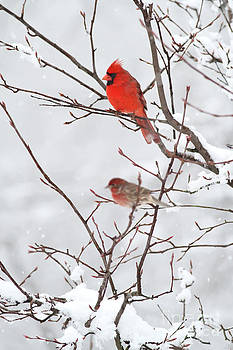Cardinal in serviceberry by Doris Dumrauf