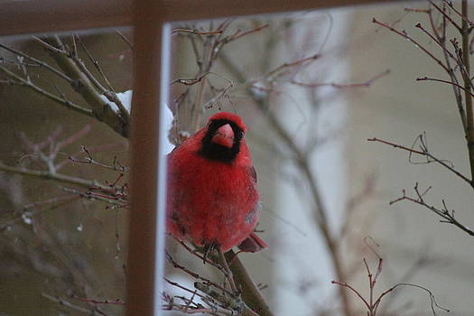 Cardinal in the Snow by Charlotte Craig