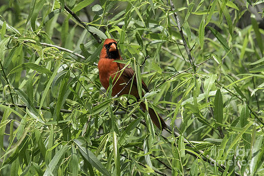Tim Moore - Cardinal in the Willow