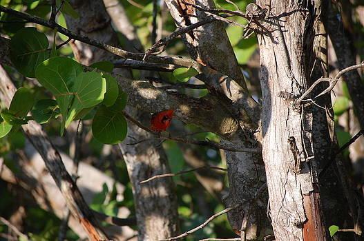 Cardinal in Tree by Richard Ballo