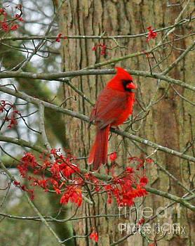 Cardinal  by Jinx Farmer