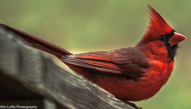 Cardinal  by Kim Loftis