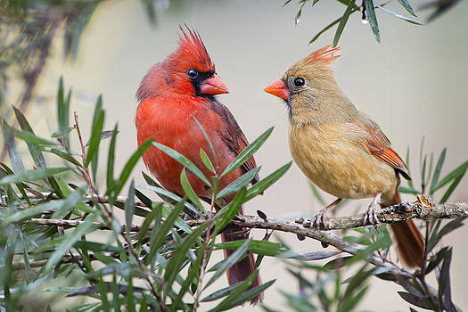 Cardinal Mates by Bonnie Barry