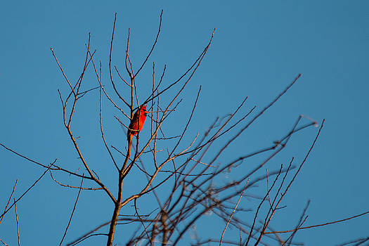 Gaurav Singh - Cardinal Morning