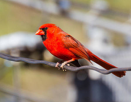 Cardinal on a Wire by Frank White