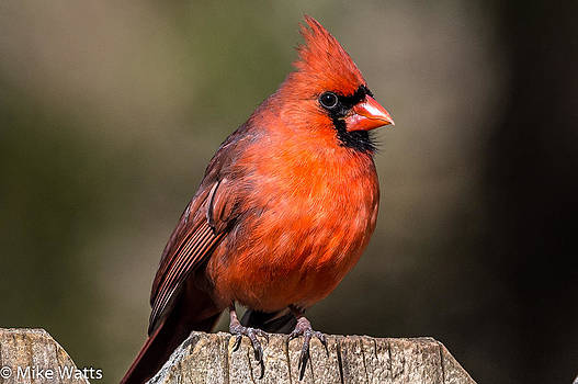 Cardinal on Fence by Mike Watts