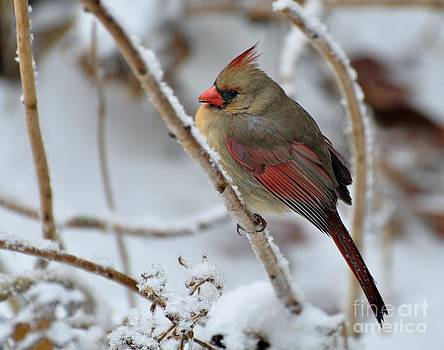 Cardinal on Snow-Covered Hydraganea by Maureen Cavanaugh Berry